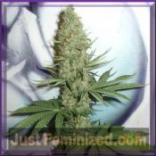 fantaseeds big bud regular original marijuana seeds breeder packing